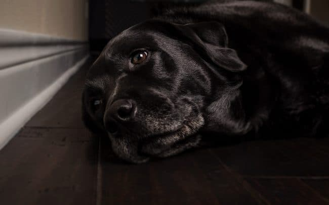 Black Labrador Retriever Lying on Floor