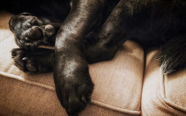 Feet of Black Labrador Retriever