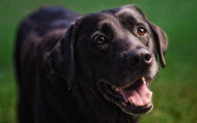 Black Labrador Retriever with Open Mouth