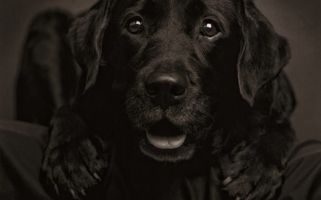 Black and white, Portrait of Black Labrador Retriever